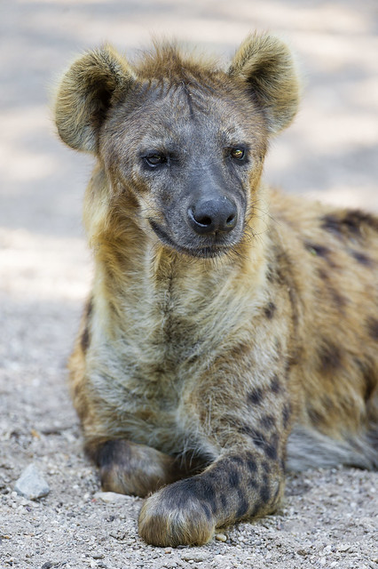 Hyena Definitionmeaning-4740
