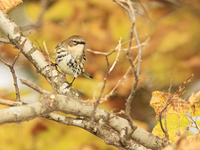 Yellow-rumped Warbler 2-20141007