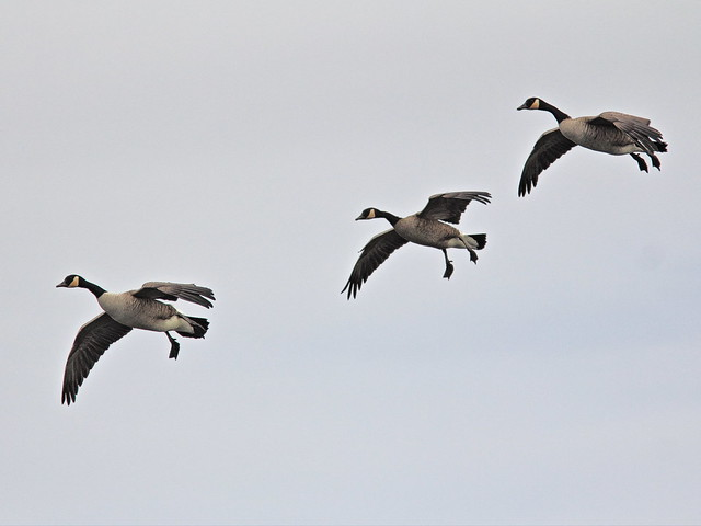 Canada Geese landing 20141007