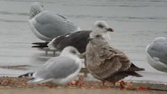 Lesser Black-backed Gull (3rd year) @ Alum Creek beach