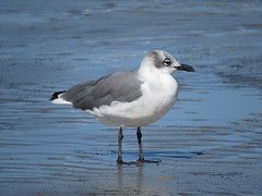 Laughing Gull/ Hilton Head/ 10-5-2014