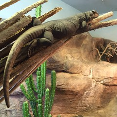 Master of her domain #chuckwalla