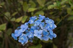forget-me-not(0.0), shrub(1.0), cornales(1.0), flower(1.0), hydrangea serrata(1.0), plant(1.0), macro photography(1.0), wildflower(1.0), flora(1.0),