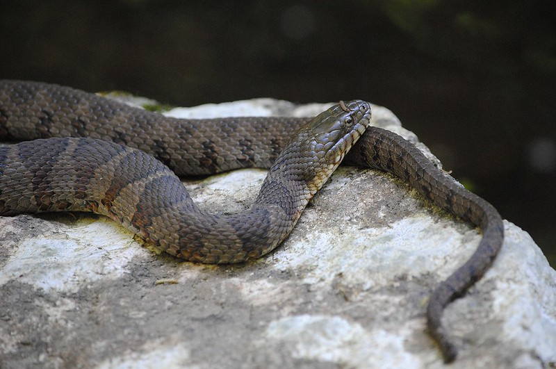 Nothern water snake