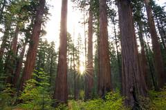 Sunrise in the Cedars and Sequoias