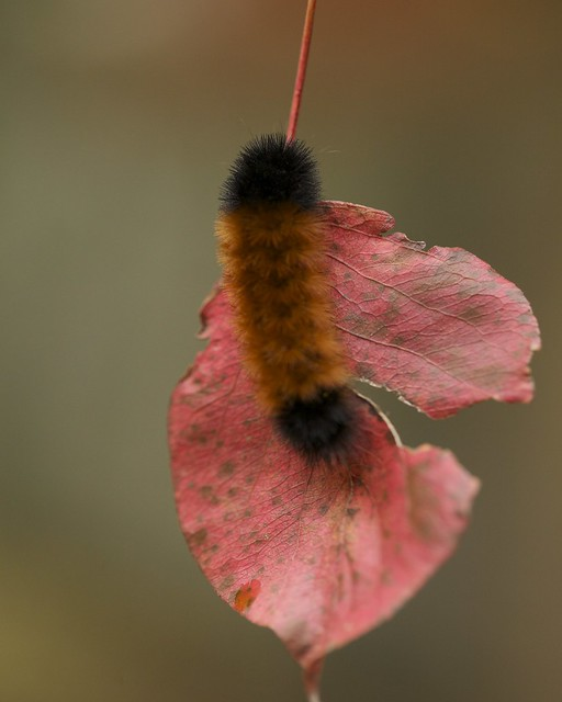 All Black Woolly Bear Caterpillars: Woolly Bear Caterpillar (Pyrrharctia Isabella)