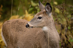 White Tailed Deer - yearling