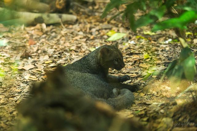 Header of jaguarundi