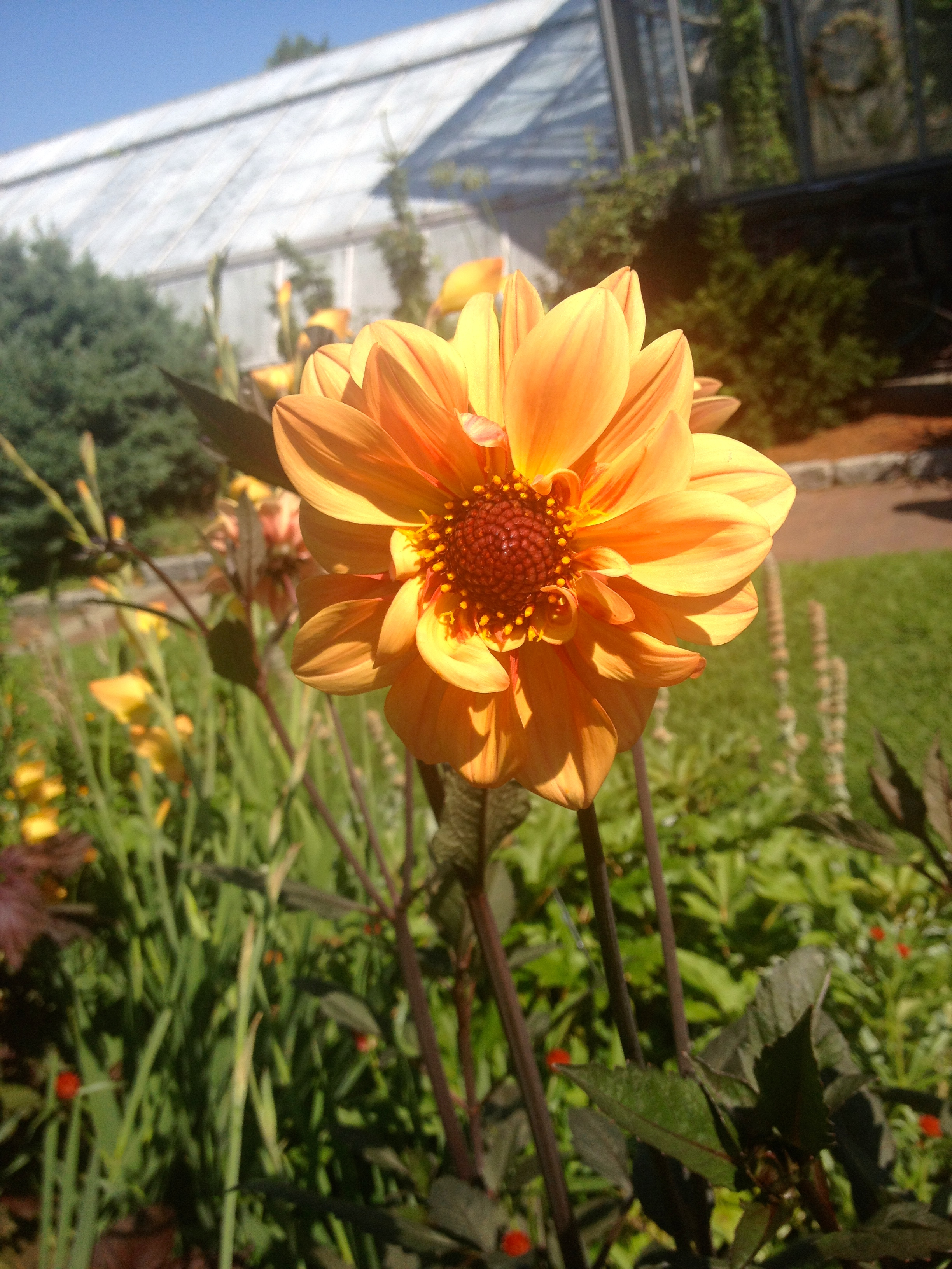Dahlia's at the Garden by Ms. Cruz