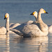 Bewick's Swans (Mati Kose)