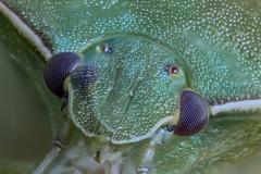 Eyes of a Stink Bug