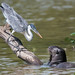Otter Heron Face-off by Tim Melling
