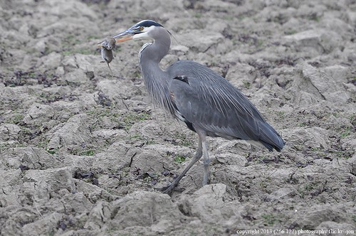 2013-12-10 Great Blue Heron (03) (1024x680)