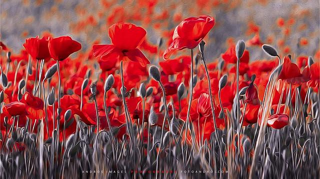 Fantasía en Rojo - Campo de amapolas en Tierra de Campos. del sol, del amor y del silencio.
