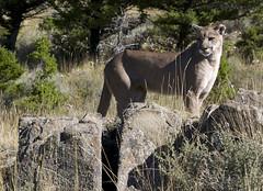 Cougar Montana