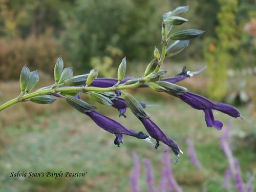 Salvia Jean's Purple Passion