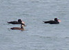 Black Scoter female with 2 Surf Scoters _2