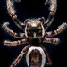 Eris militaris w/ a gimpy leg jumping spider coven…