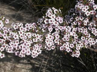 Baeckea crassifolia, Monarto Conservation Park, South Australia