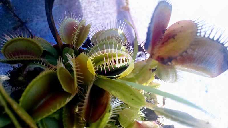 Caterpillar being eating by Dionaea muscipula (Venus fly trap).