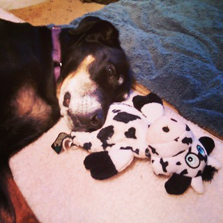 Doesn't everyone sleep with their cow buddy? Lola thinks so. #dogstagram #dobermanmix #rescued #dobiemix #godog #dogtoy #cow #seniordog #adoptdontshop #ilovemyseniordog