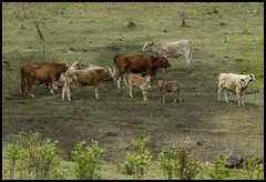 Cattle in Dayboro paddock-1=