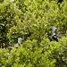 Frigatebirds 6