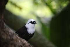 black white laughingthrush