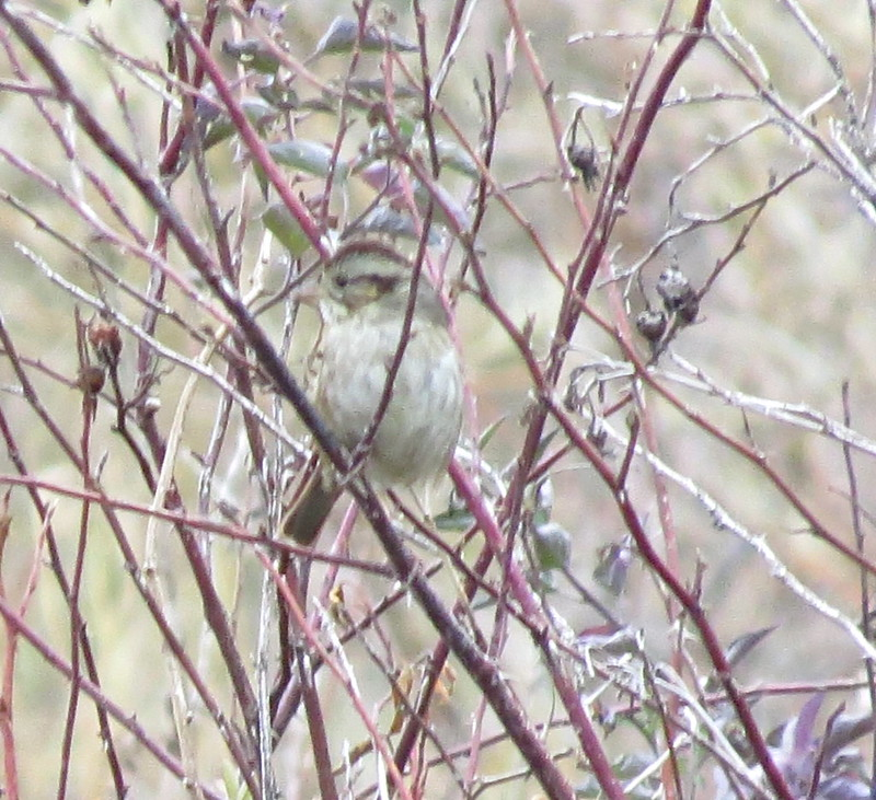 Swamp Sparrow-Mill Canyon, WA-10-21-2014