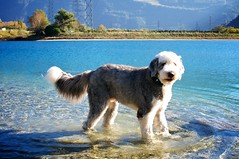 great pyrenees(0.0), dog breed(1.0), animal(1.0), dog(1.0), pet(1.0), mammal(1.0), slovak cuvac(1.0),