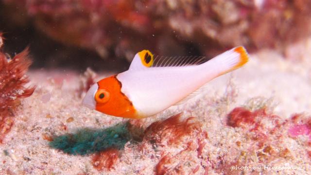 イロブダイ幼魚