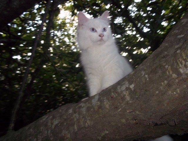 Turkish Angora Cat Pictures And Information Cat Breeds Com