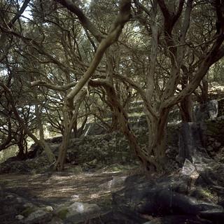 Horror olive trees;)