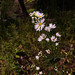 riverside daisy bush