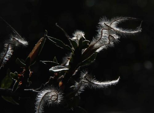 plants usa flickr nevada unitedstatesofamerica gps 2013 humboldttoiyabenf camcanonrebelt3i