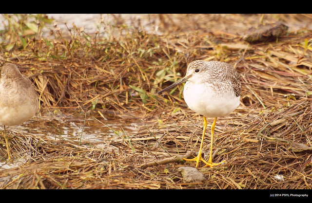 Yellowlegs (Tringa sp.)