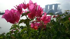 Bougainvillea at Bay East Garden