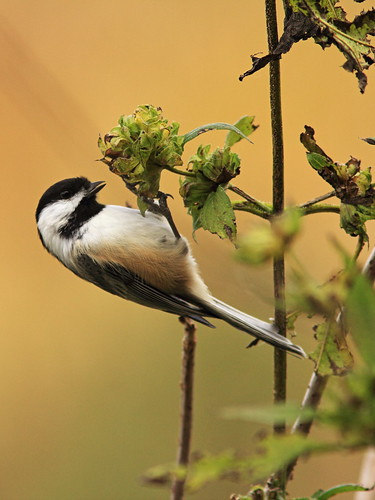 Black-capped Chickadee 13-20141021