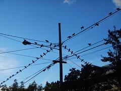 Mega crow gathering.