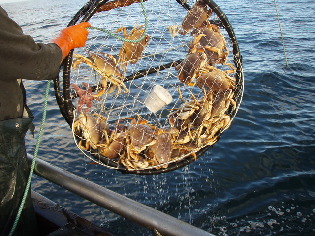 Photo of Dungeness Crabs