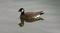 Cackling Goose (B. h. minima) @ Virginia Lake, Reno, NV