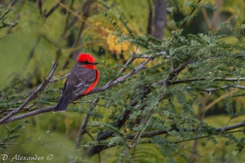Mosquetero cardenal