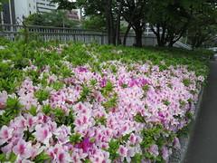 shrub, flower, garden, plant, lilac, flora, azalea,
