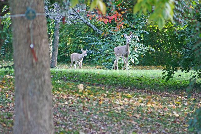 Deer KY A7 033