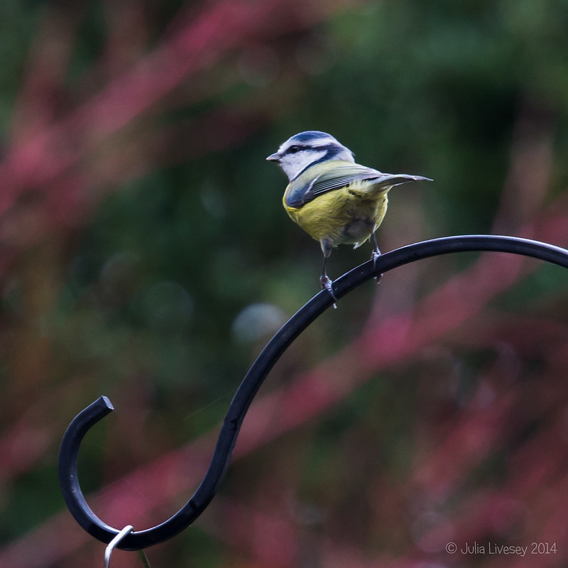 Cheeky little Blue Tit