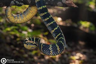 A Sunning Wagler's Pit Viper- Tropidolaemus wagleri ♀