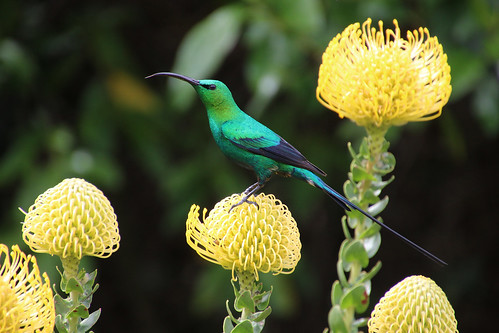 Malachit-Nektarvogel (Nectarinia famosa)