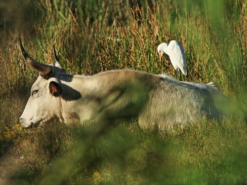 Cattle Egret on back of cow 20141030