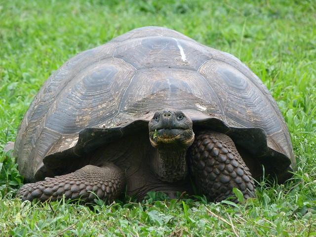 Tortuga gigante de Galápagos (Ecuador)
