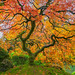 When in Portland, shoot the Japanese maple tree! by colored shadows